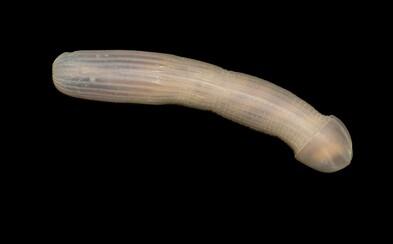 Vedci objavili v austrálskom mori tvora, ktorý vyzerá ako mužský pohlavný orgán. Internet sa nedokázal zdržať vtipných poznámok
