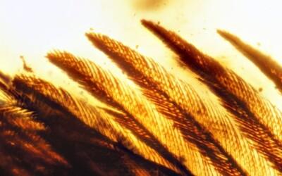 Vědci objevili dinosauří křídla i s peřím stará skoro 100 milionů let. Tvorové připomínali dnešní ptáky