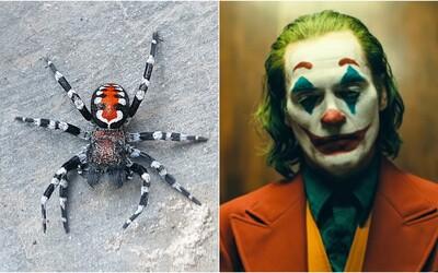 Vědci objevili nový druh pavouka, který má připomínat Jokera. Pojmenovali ho po herci Joaquinu Phoenixovi