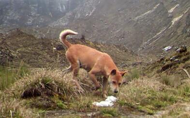 Vedci si mysleli, že nadobro vyhynul. Vzácny horský pes sa po pol storočí opäť objavil vo voľnej prírode