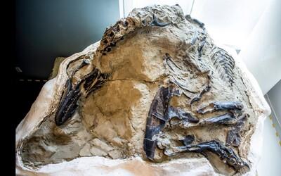Vědci ukázali první kompletní kostru T-Rexe. Zvíře zahynulo v souboji s triceratopsem.