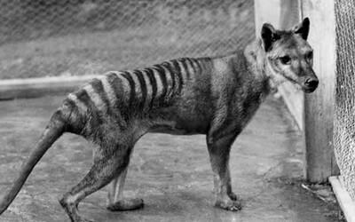 Vedci zverejnili takmer 100-ročné zábery, ktoré zachytávajú posledného známeho tasmánskeho tigra na svete