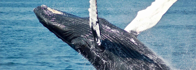 Velryba téměř spolkla potápěče: Najednou byla tma, pak mě vymrštila do vzduchu a byl jsem volný
