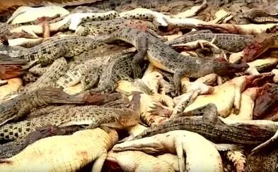Vesničané z Indonésie zmasakrovali 292 krokodýlů. Mstili se za smrt jednoho z obyvatel