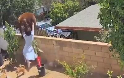 VIDEO: 17letá dívka v USA vší sílou strčila do medvědice, která zabloudila do její zahrady. Snažila se ochránit své psy