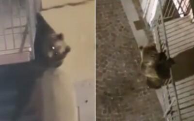 Video: Medveď vyliezol na balkón a rozbil okno do bytu. V prázdnom talianskom meste nabral odvahu