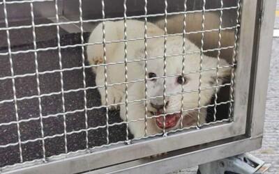 Video: Na nemeckej diaľnici havarovali Slováci s mláďaťom leva v aute