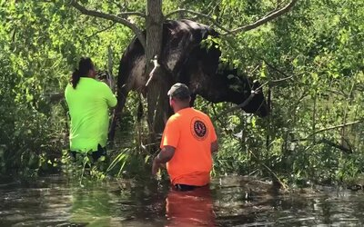 VIDEO: Po hurikáne Ida skončila na strome krava. Obyvatelia z New Orleans orezali konáre a zviera vyslobodili