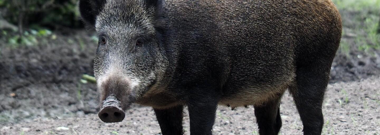VIDEO: Rím zaplavili divé svine. V meste hľadajú potravu