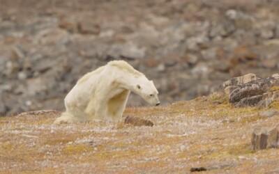 Video vyhladovaného ľadového medveďa obletelo celý svet. Odborníci však tvrdia, že celé je to zrejme trochu inak