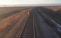 Video zachycuje velblouda v Rusku, který utíkal před vlakem. Stroj kvůli němu nabral hodinové zpoždění