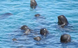 Video zachytáva, ako japonskí rybári nahnali rodinku delfínov k sebe. Až do smrti sa od seba ani nepohli