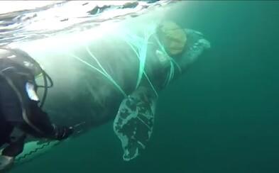 Vojenskí potápači hodinu zachraňovali život veľrybe uväznenej v rybárskej sieti. Zviera nenechali utrápiť sa na smrť