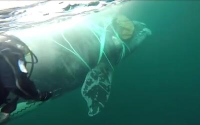 Vojenští potápěči hodinu zachraňovali život velrybě uvězněné v rybářské síti