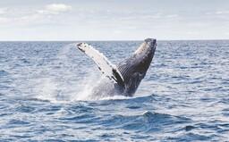 Vráskavec obrovský je najväčším živočíchom, aký kedy žil na Zemi. Na jeden hlt prijme až 10 miliónov kalórií