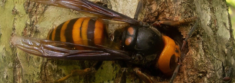 Vraždící sršně odtrhávají včelám hlavy. Američtí vědci našli první kus agresivního hmyzu v tomto roce