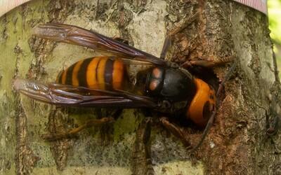 Vraždiaci sršeň odtrháva včelám hlavy. Americkí vedci našli prvý kus agresívneho hmyzu v tomto roku