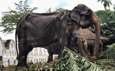 Vychrtlého slona využívají jako atrakci. Během festivalu musí zapřažený ujít několik kilometrů