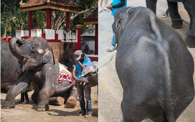 Vyhladovaný slon Dumbo musí pre zábavu tancovať turistom. Desiatky tisíc ľudí už podpísali petíciu proti týraniu