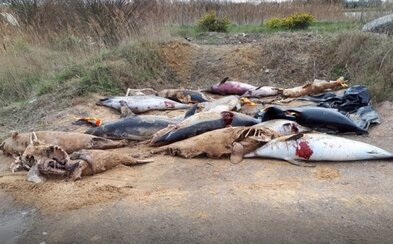 Přes 700 mrtvých delfínů skončilo na plážích ve Francii. Znetvořená těla jsou vinou rybářů