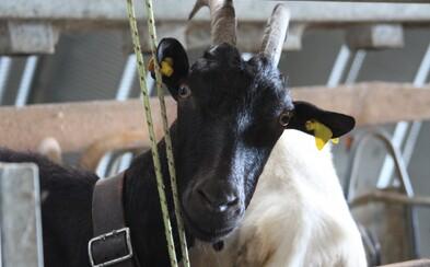 Vyzkoušeli jsme si den na ovčí farmě. Proč je dnes těžké sehnat mladé lidi na práci se zvířaty?