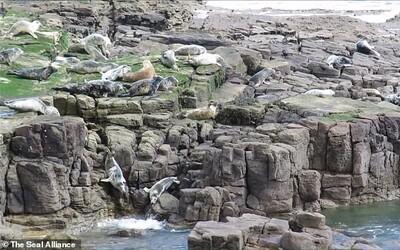 Vystrašené tulene sa hádžu z útesov, aby utiekli pred dotieravými turistami. Kvôli ľuďom riskujú zranenia či smrť
