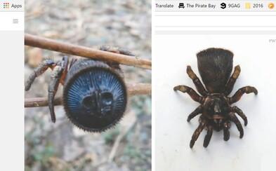 Vzácny pavúk, ktorého bruško zdobia zvláštne ornamenty. V Číne ho našiel farmár, ktorý nevedel, na čo sa pozerá