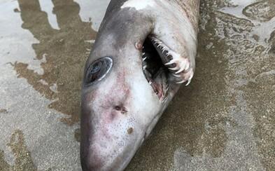 Vzácny žralok so zubami pripomínajúcimi krokodíla sa objavil na britskej pláži. Je záhadou, čo ho tam priviedlo