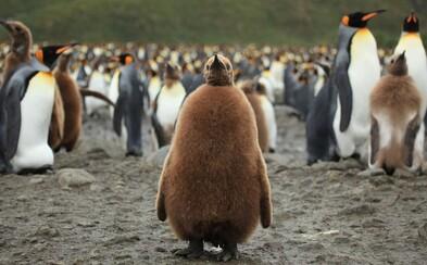 Z 2 miliónov rozkošných tučniakov ostalo len 200 000. Najväčšia kolónia zo záhadných dôvodov vymiera