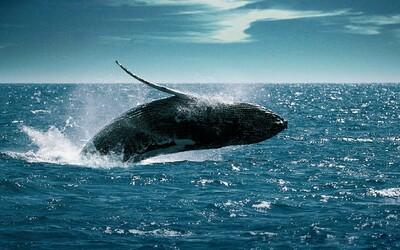 Z Mariánského příkopu vycházel tajemný zvuk. Vydával ho nový druh velryby s potenciálem stát se největším zvířetem na Zemi