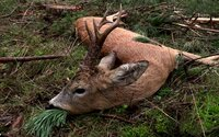 Z mŕtveho jeleňa vytiahli 7 kilogramov odpadu, vrátane plastových vreciek či mužského spodného prádla