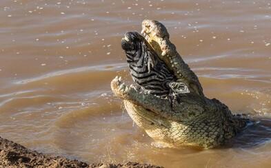Z obrovské tlamy mu trčela jen její hlava. Nešťastná zebra neměla při náhodném setkání s mohutným krokodýlem šanci
