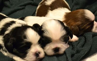 Z úplně prvního psího klonu vědci naklonovali další psy. Štěňátka jsou naprosto zdravá