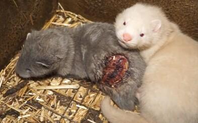 Zábery zo slovenskej kožušinovej farmy: Hnisajúce rany zvierat a život v hrozivých podmienkach