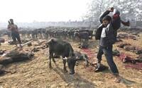 Začal sa najväčší festival zabíjania zvierat. Na poslednom ročníku ich bolo obetovaných 200 000