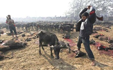 Začal největší festival zabíjení zvířat. Na posledním ročníku jich bylo obětováno 200 000