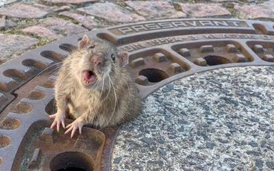 Záchranári museli vyslobodiť príliš tučného potkana, ktorý uviazol v kanálovom poklope