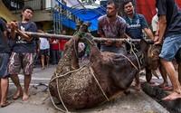 Začíná svátek, během nějž jsou obětovány desítky milionů zvířat. Muslimové si jím připomínají proroka Abraháma