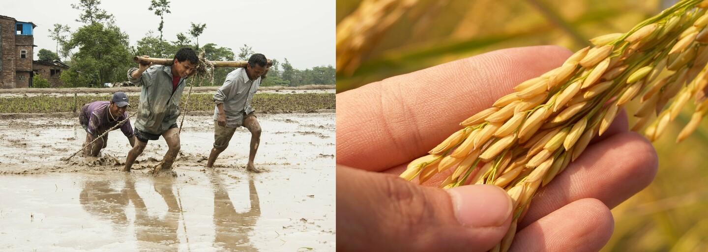 Zákerný vírus HIV by mohla vyliečiť geneticky modifikovaná ryža. Milióny ľudí čakajú na dokončenie testovania