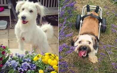 Zamilovaný pár zachraňuje nemocné psy bez domova. Díky speciálním vozíčkům jim vrací radost do života