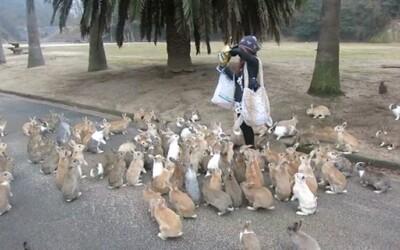 Záplava divokých králikov na japonskom ostrove