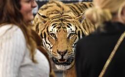 Žena na Pardubicku si i přes zákaz chtěla pohladit tygra. Ten jí ukousl ruku