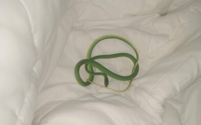 Žena se v hotelu probudila s přibližně metrovým hadem na rameni