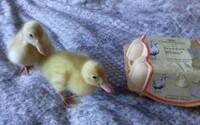 Žena si domov priniesla vajíčka z bioobchodu, po mesiaci sa z nich vyliahli tri zdravé kačiatka