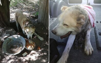 Žena z Galanty psa zanedbávala tak, že ho zožieral hmyz a reťaz mu vrástla do krku. Surové týranie už rieši polícia
