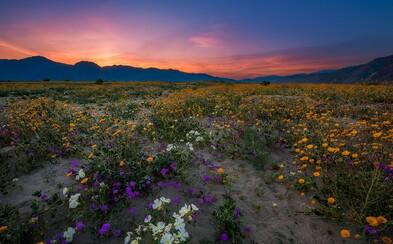 Žeravá americká púšť rozkvitla! Miestnym sa po desaťročiach naskytlo dychberúce divadlo
