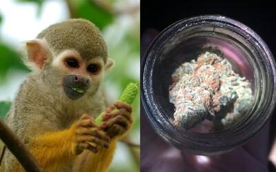 Zhulený mladík se vloupal do zoo, aby ukradl opici pro svou přítelkyni. Zlomil si tam nohu, vyrazil zuby a půjde do vězení