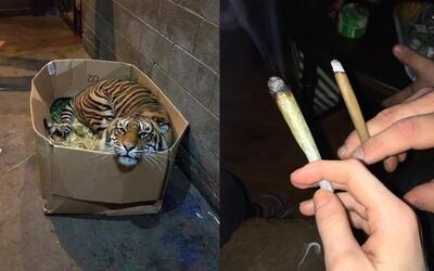 Zhulil se a volal policistům, že našel v opuštěném domě tygra. Mysleli si, že halucinuje, ale zvíře tam opravdu bylo