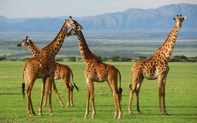 Žirafa pribudla na zoznam ohrozených druhov. Na svete ich je menej ako 100 000