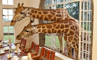 Život žiráf vie byť vtipný a zaujímavý, tieto fotografie sú toho dôkazom